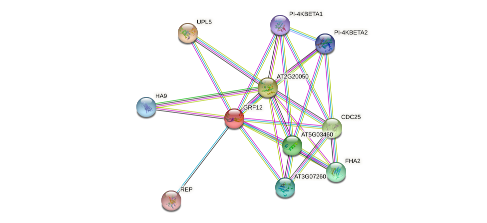 GRF12 protein (Arabidopsis thaliana) - STRING interaction network