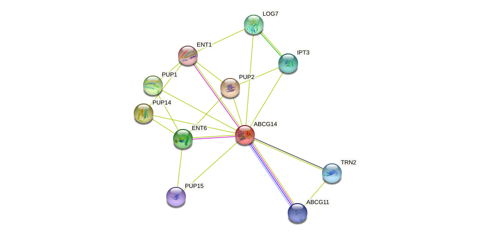 ABCG14 protein (Arabidopsis thaliana) - STRING interaction network