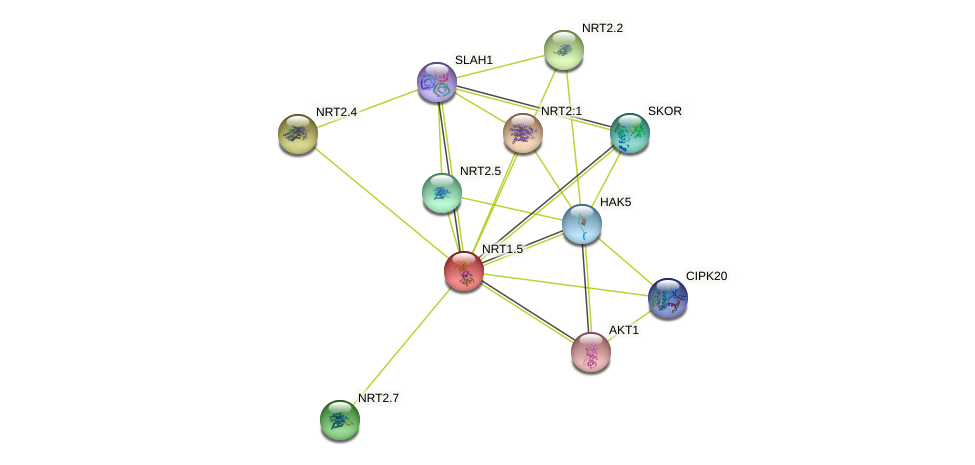 NRT1.5 protein (Arabidopsis thaliana) - STRING interaction network