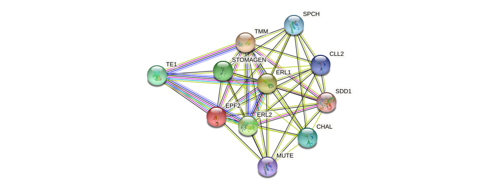 EPF2 protein (Arabidopsis thaliana) - STRING interaction network