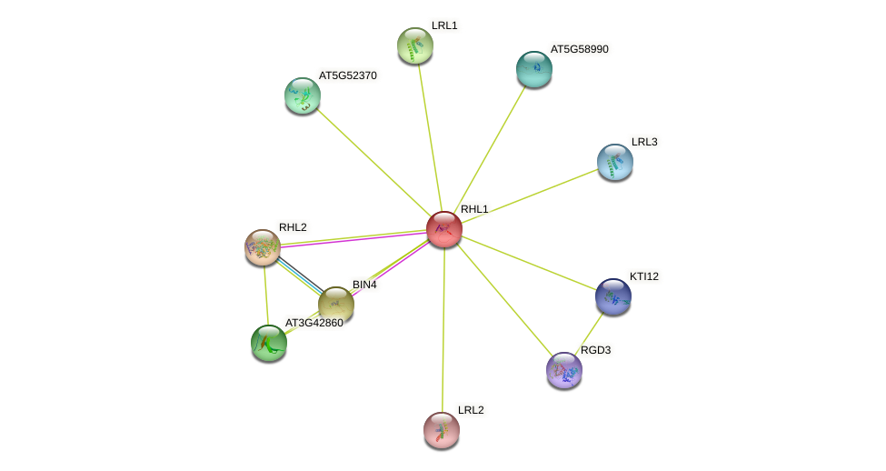 RHL1 protein (Arabidopsis thaliana) - STRING interaction network