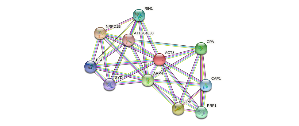 ACT8 protein (Arabidopsis thaliana) - STRING interaction network