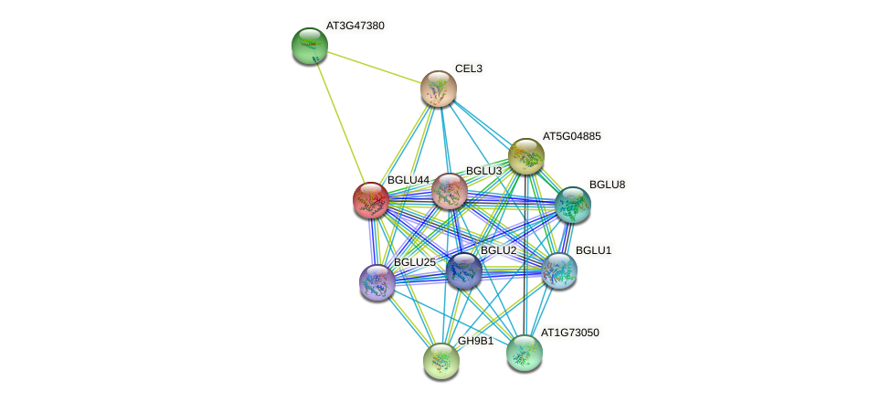 BGLU44 protein (Arabidopsis thaliana) - STRING interaction network