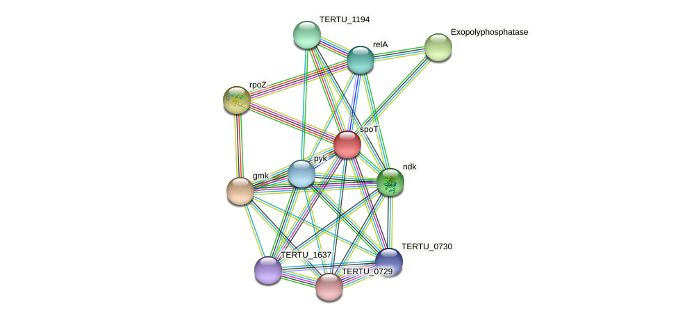 spoT protein (Teredinibacter turnerae) - STRING interaction network