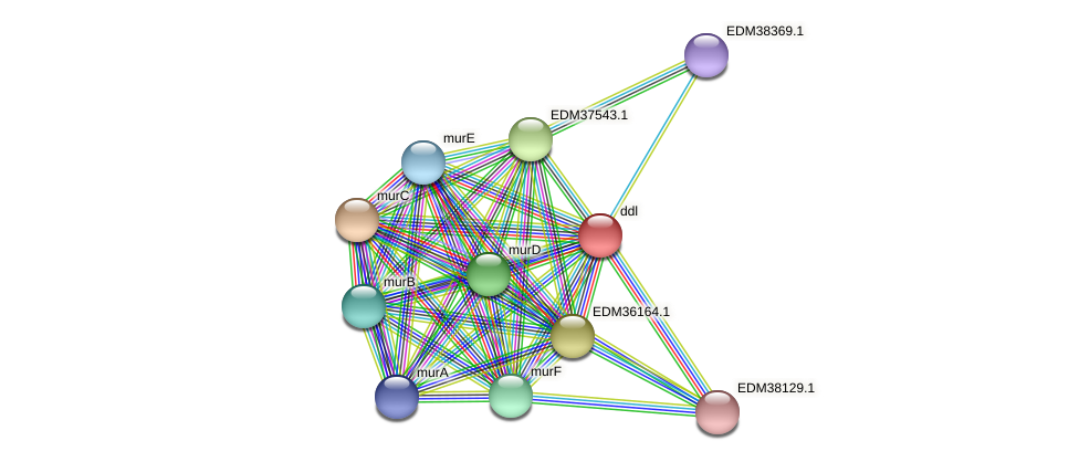 ddl protein (Pedobacter sp. BAL39) - STRING interaction network