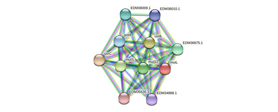 mutL protein (Pedobacter sp. BAL39) - STRING interaction network
