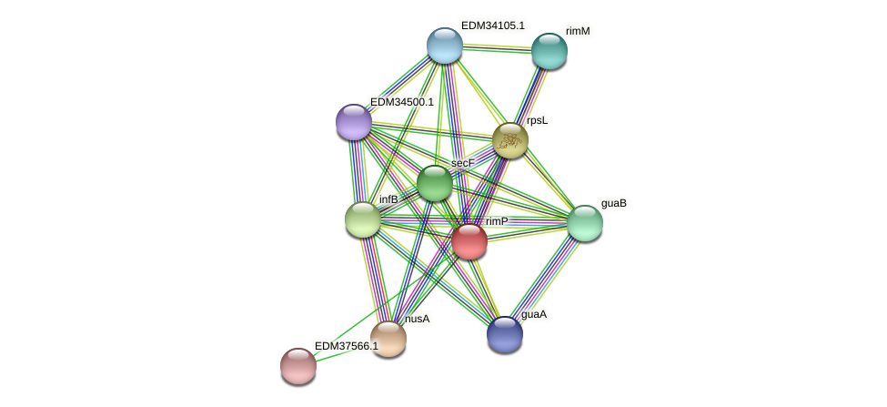 rimP protein (Pedobacter sp. BAL39) - STRING interaction network