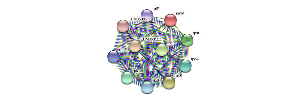 rimM protein (Pedobacter sp. BAL39) - STRING interaction network