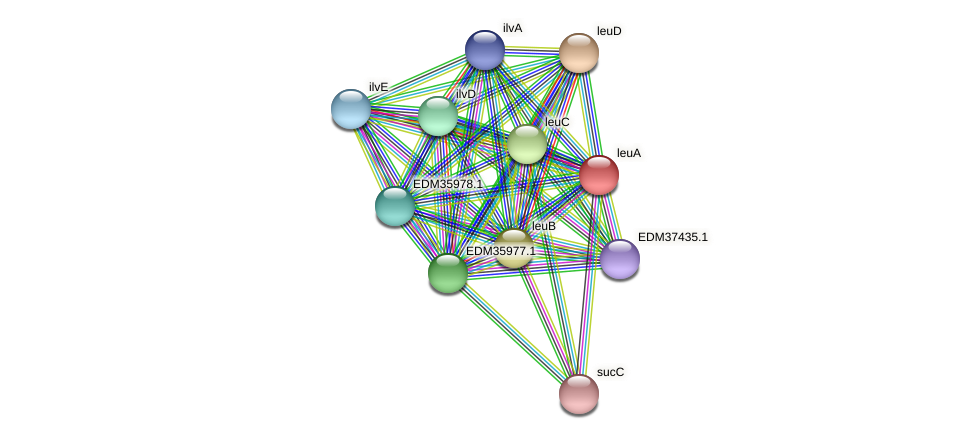 leuA protein (Pedobacter sp. BAL39) - STRING interaction network