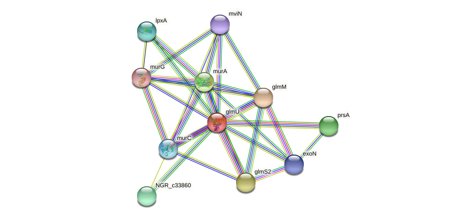 glmU protein (Sinorhizobium fredii NGR234) - STRING interaction network