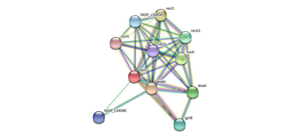 recF protein (Sinorhizobium fredii NGR234) - STRING interaction network