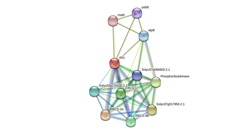 rbcL protein (Solanum lycopersicum) - STRING interaction network
