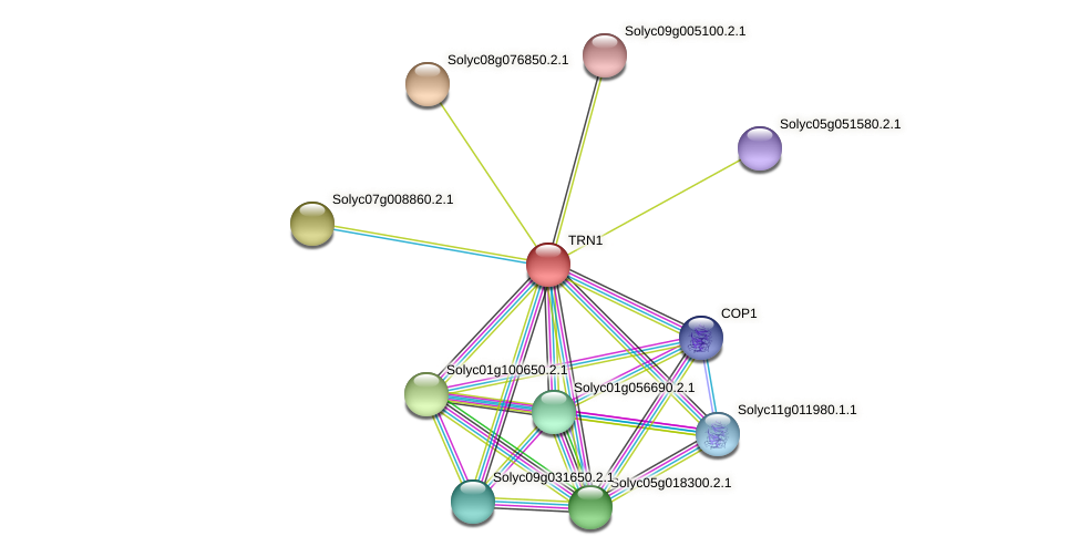 TRN1 protein (Solanum lycopersicum) - STRING interaction network