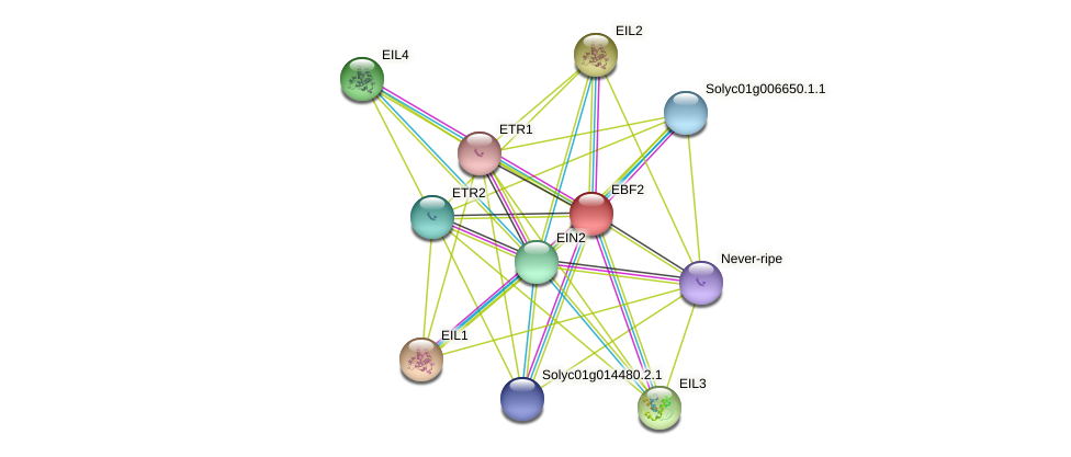 EBF2 protein (Solanum lycopersicum) - STRING interaction network