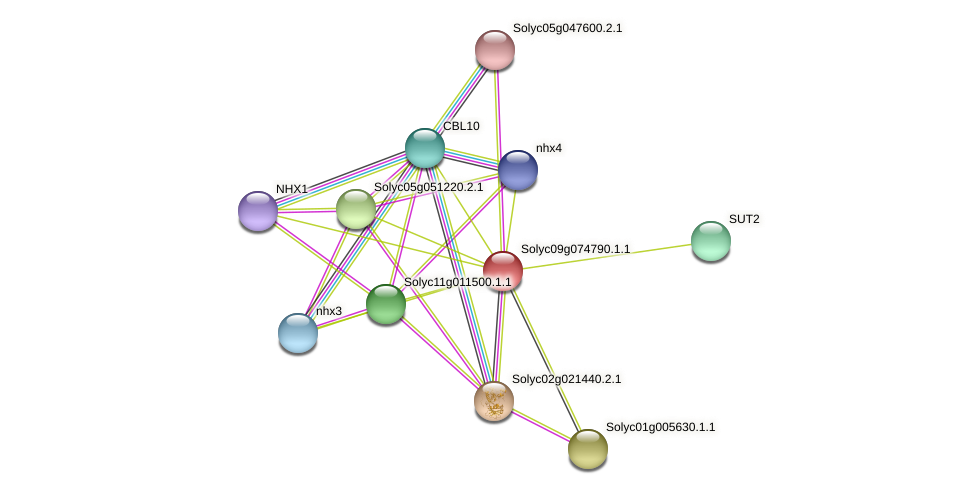 101259484 protein (Solanum lycopersicum) - STRING interaction network