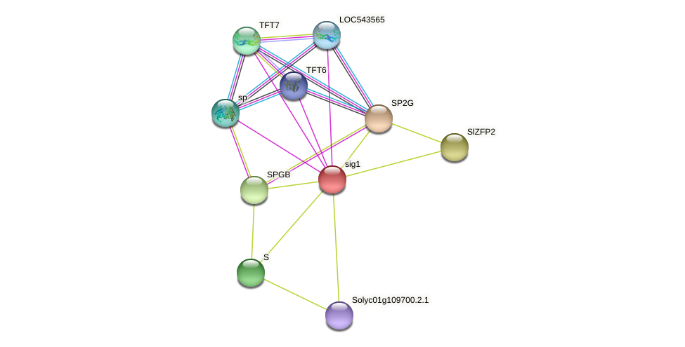 sig1 protein (Solanum lycopersicum) - STRING interaction network