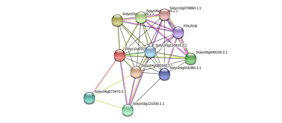 Solyc11g022390.1.1 protein (Solanum lycopersicum) - STRING interaction network