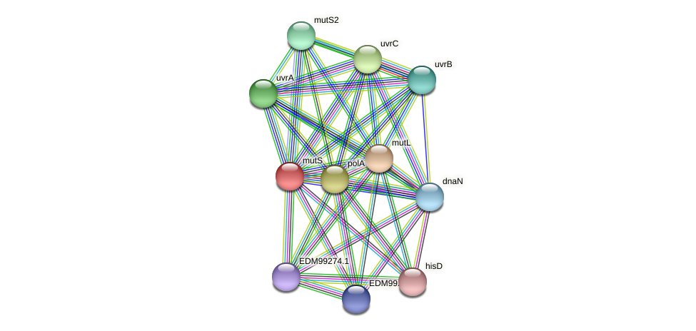 mutS protein (Pseudoflavonifractor capillosus) - STRING interaction network
