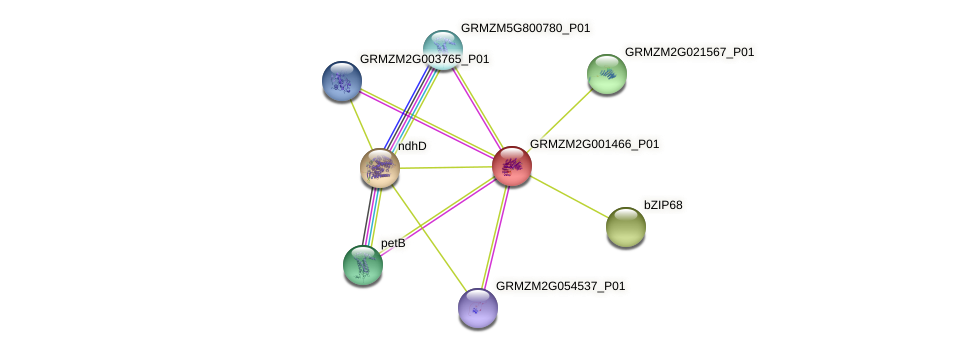 GRMZM2G001466_P01 protein (Zea mays) - STRING interaction network