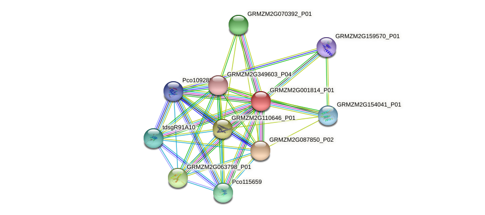 GRMZM2G001814_P01 protein (Zea mays) - STRING interaction network