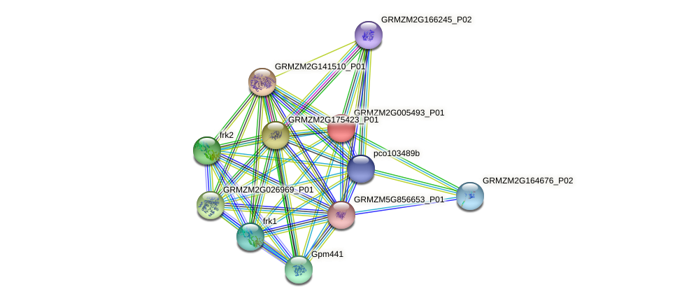 GRMZM2G005493_P01 protein (Zea mays) - STRING interaction network