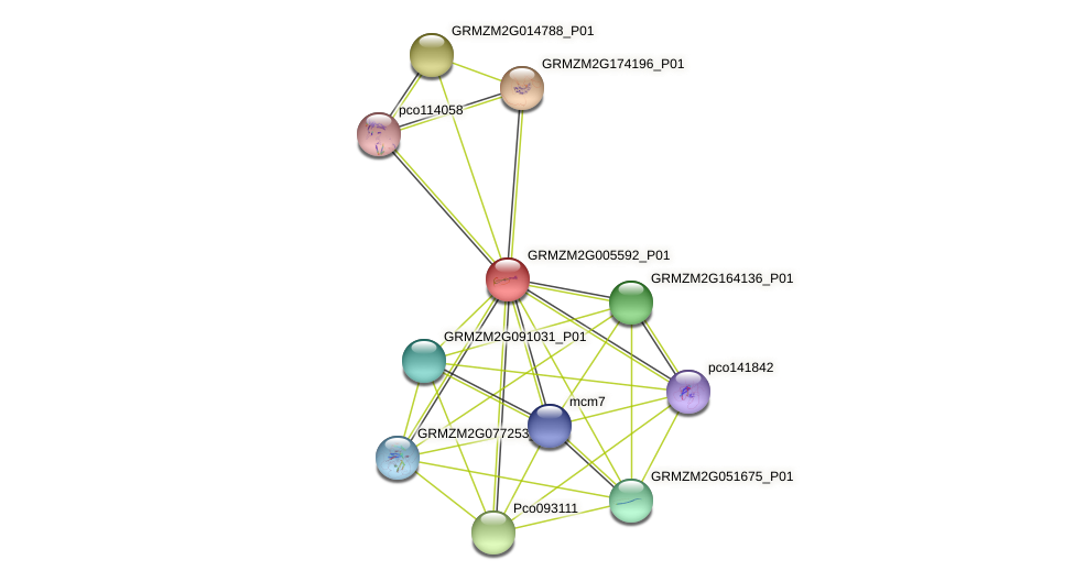 GRMZM2G005592_P01 protein (Zea mays) - STRING interaction network