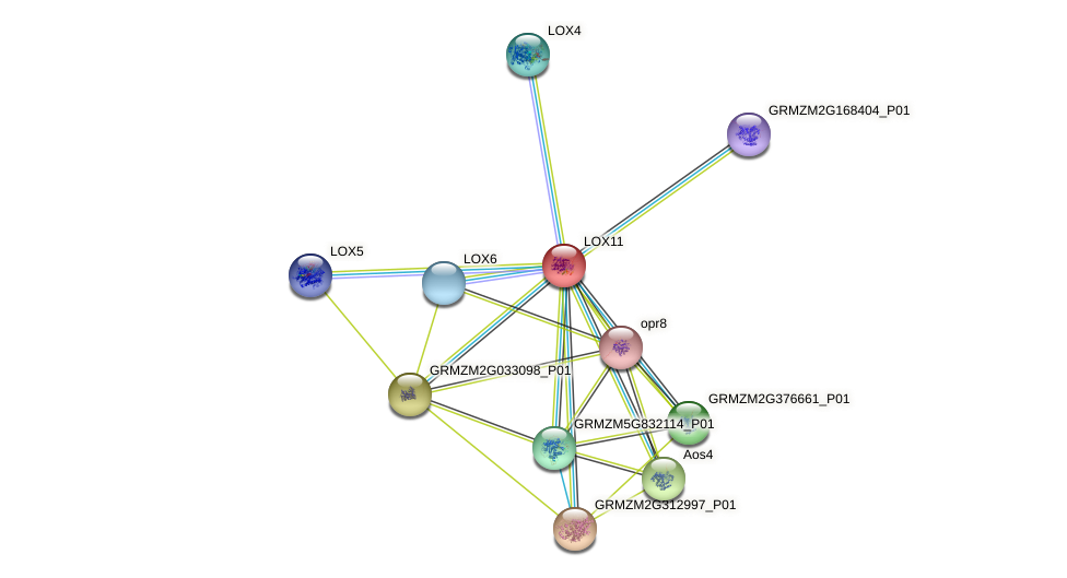LOX11 protein (Zea mays) - STRING interaction network