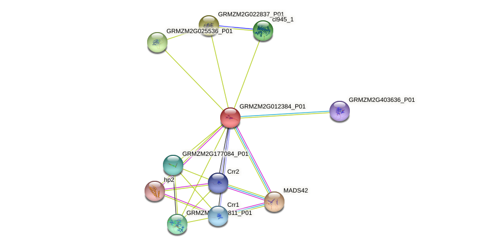 GRMZM2G012384_P01 protein (Zea mays) - STRING interaction network