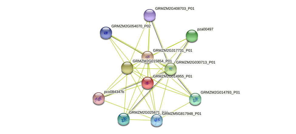 GRMZM2G014955_P01 protein (Zea mays) - STRING interaction network