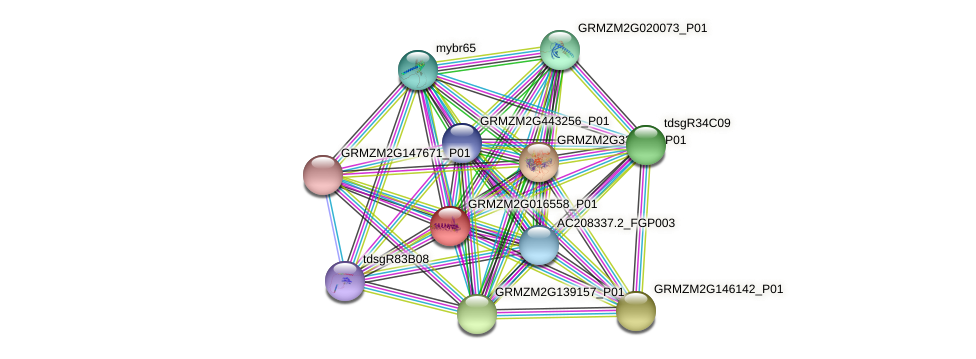 GRMZM2G016558_P01 protein (Zea mays) - STRING interaction network