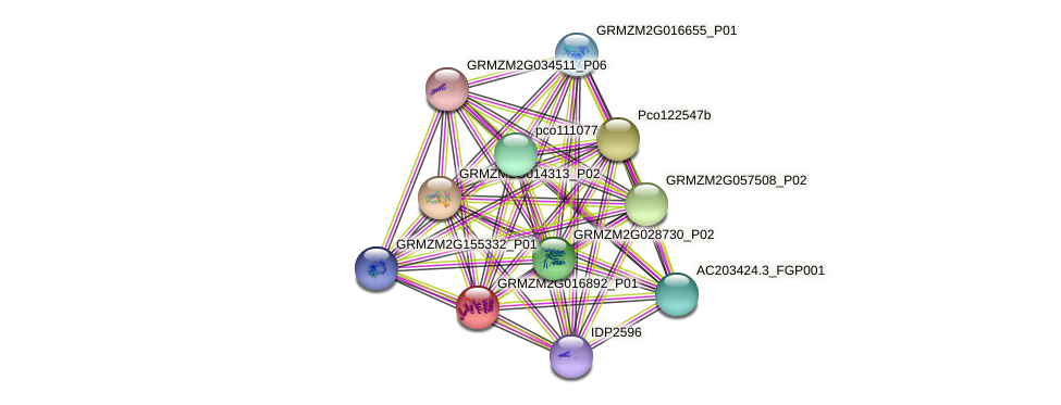 GRMZM2G016892_P01 protein (Zea mays) - STRING interaction network