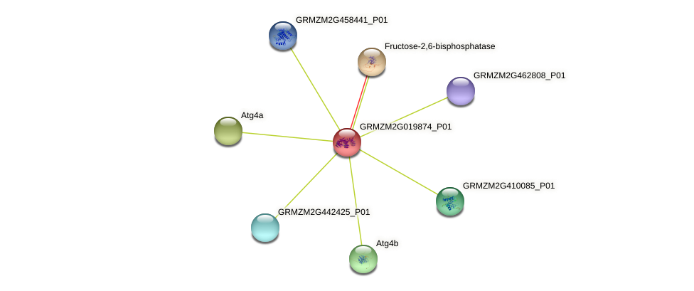 GRMZM2G019874_P01 protein (Zea mays) - STRING interaction network
