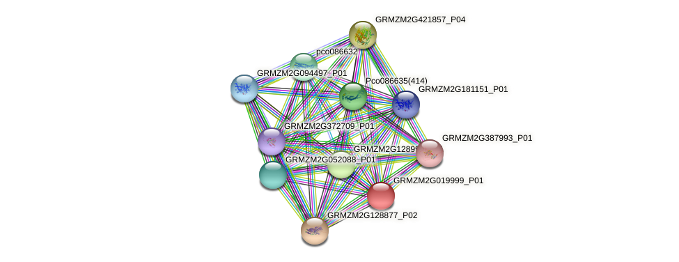 GRMZM2G019999_P01 protein (Zea mays) - STRING interaction network