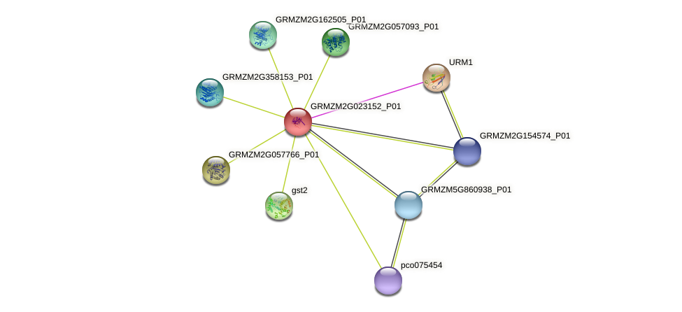 GRMZM2G023152_P01 protein (Zea mays) - STRING interaction network