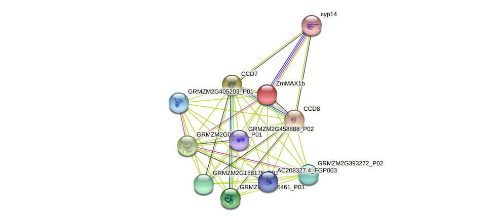 MAX1b protein (Zea mays) - STRING interaction network