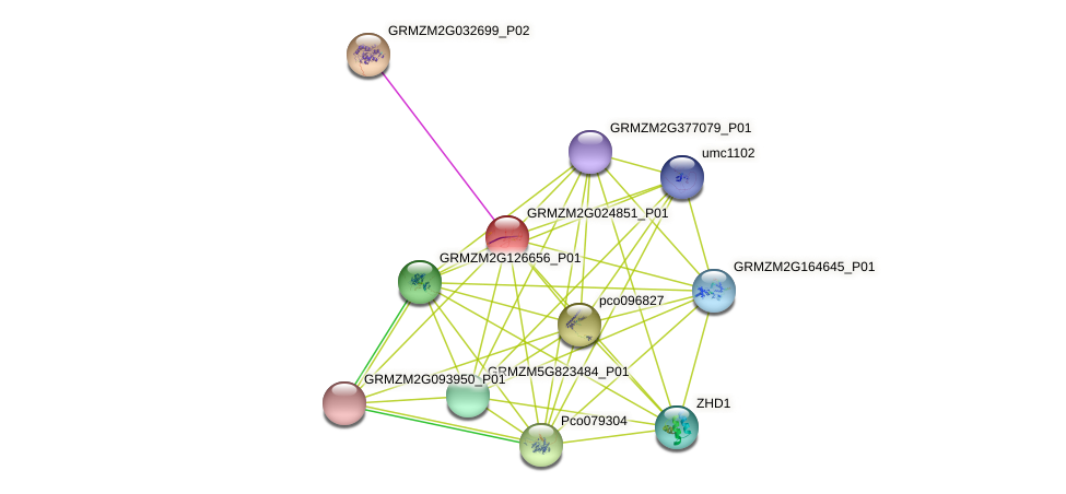 GRMZM2G024851_P01 protein (Zea mays) - STRING interaction network