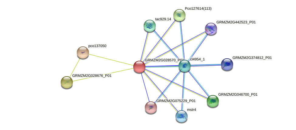 GRMZM2G028570_P01 protein (Zea mays) - STRING interaction network