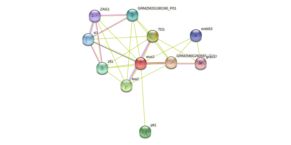 wus2 protein (Zea mays) - STRING interaction network
