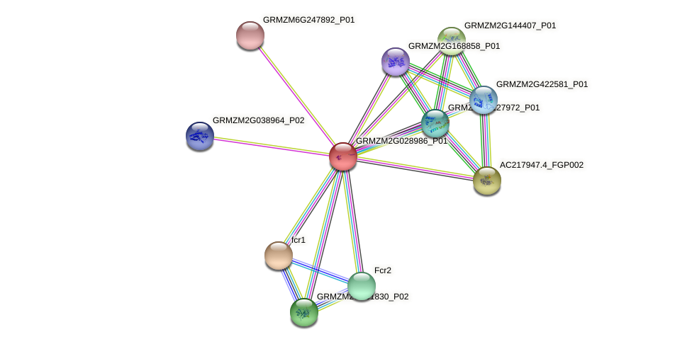 GRMZM2G028986_P01 protein (Zea mays) - STRING interaction network
