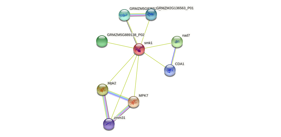 SMK1 protein (Zea mays) - STRING interaction network