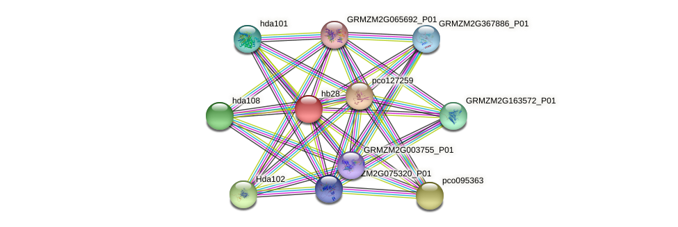hb28 protein (Zea mays) - STRING interaction network