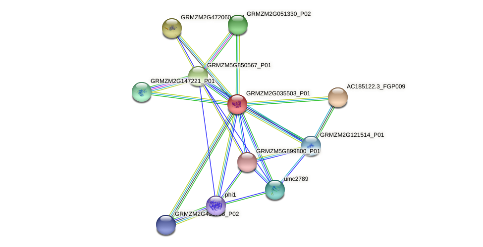 GRMZM2G035503_P01 protein (Zea mays) - STRING interaction network
