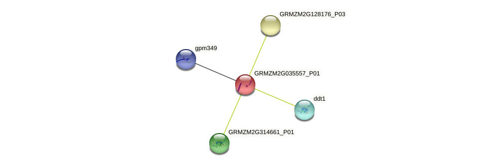 GRMZM2G035557_P01 protein (Zea mays) - STRING interaction network