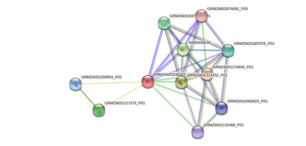 GRMZM2G036203_P02 protein (Zea mays) - STRING interaction network