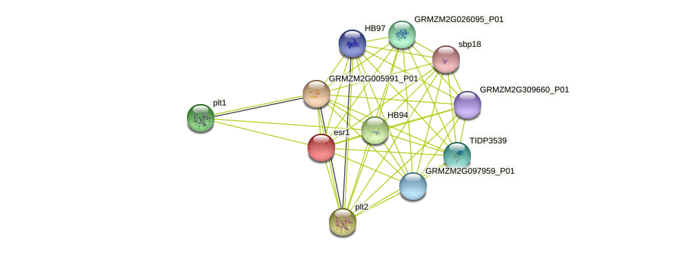 ESR1 protein (Zea mays) - STRING interaction network
