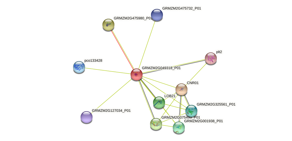 GRMZM2G049318_P01 protein (Zea mays) - STRING interaction network