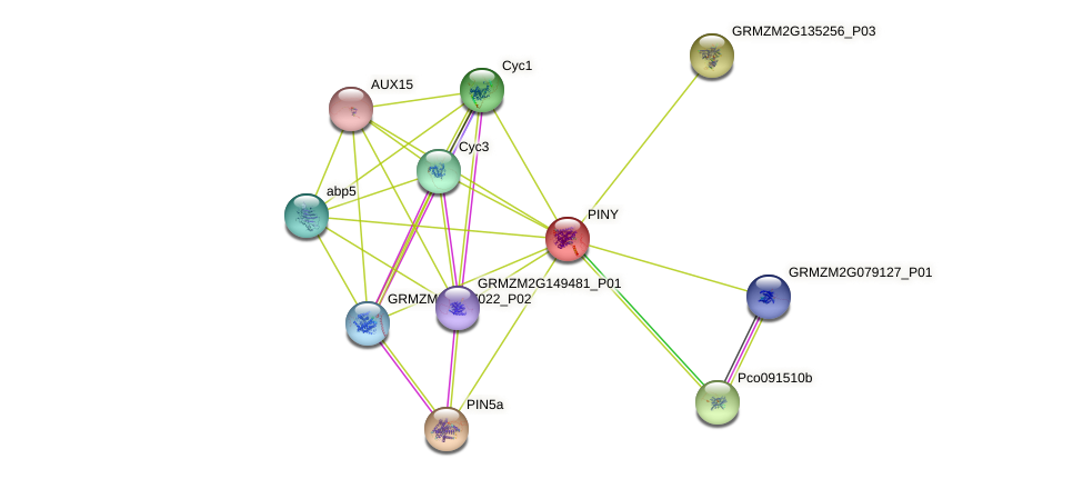 PINY protein (Zea mays) - STRING interaction network