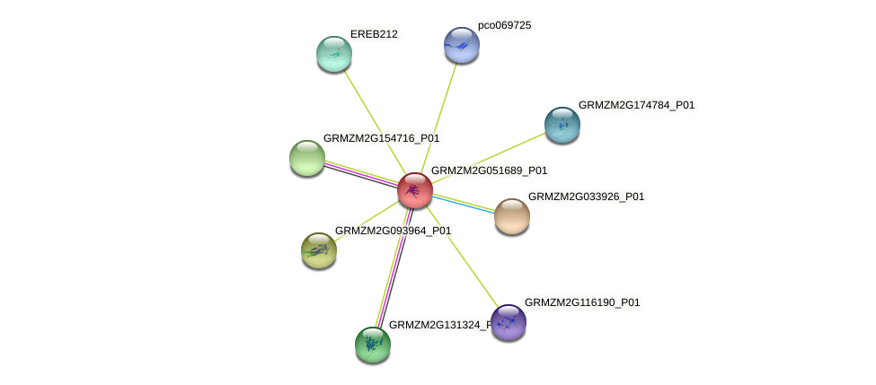 GRMZM2G051689_P01 protein (Zea mays) - STRING interaction network