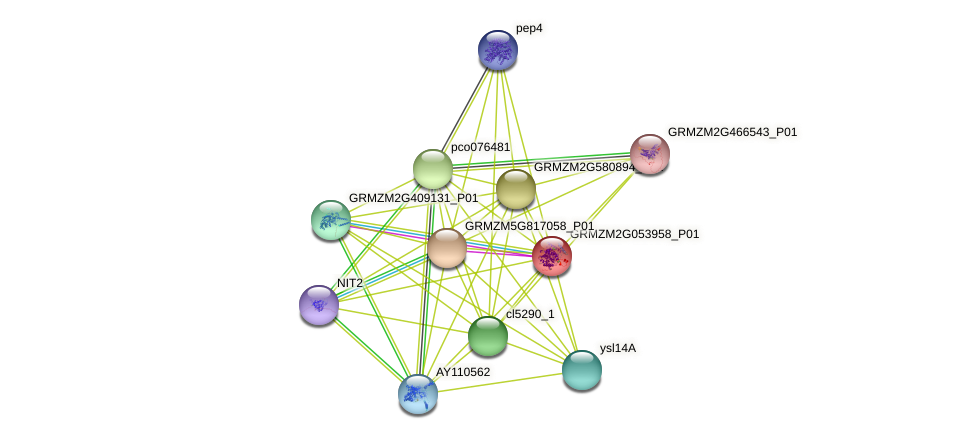 GRMZM2G053958_P01 protein (Zea mays) - STRING interaction network
