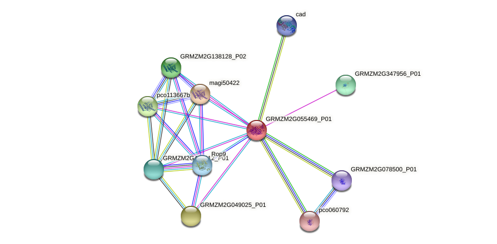 GRMZM2G055469_P01 protein (Zea mays) - STRING interaction network